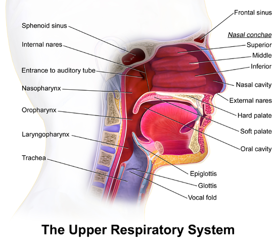 Obstructive Sleep Apnea location
