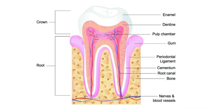 Tooth parts crown and root
