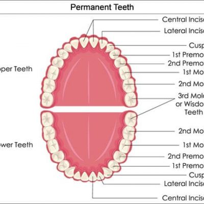 supernumerary teeth permanent teeth chart