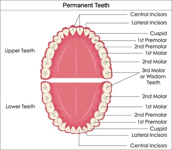 Permanent Teeth Chart